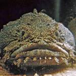 Рыба-жаба обыкновенная