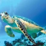 Зеленая черепаха в Тихом океане
