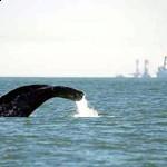 Северотихоокеанский гладкий кит