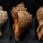 Морской моллюск венозная рапана