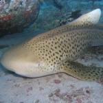 Зебровая акула